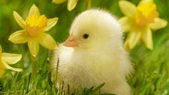 Как выяснить пол цыпленка