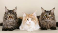 Features of the care of the Maine Coon