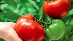 Почему листья томатов закручиваются