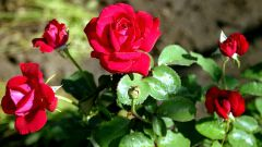 How to deal with aphids on roses