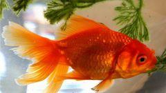 Как содержать золотых рыбок