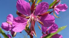 How to use fireweed