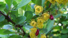 Как использовать цветки и плоды барбариса