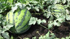 Как вырастить арбуз во влажном климате