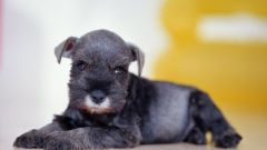 What to do if the puppy has an Allergy