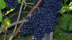 Все о кишмише, сладком винограде без косточек