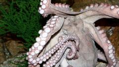 Чем необычны глаза осьминога