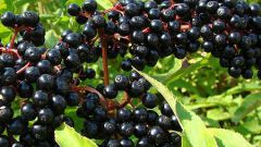 What are ornamental shrubs with black berries