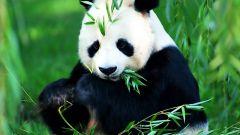 Все, что вы хотите узнать о пандах