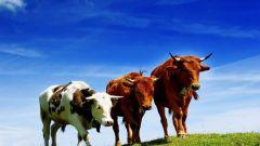 Где можно купить корову