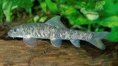 How to breed fish Gara-Rufus