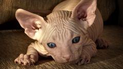 Чем отличается донской сфинкс от других домашних кошек
