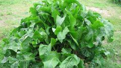 Как не превратить хрен в сорняк и как использовать в качестве приправы