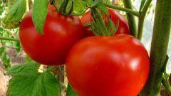 Как защитить томаты от болезней