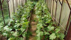 Выращивание огурцов: шпаргалка для огородников