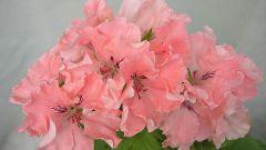Пеларгония, цветение по королевски