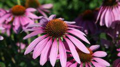 Эхинацея, полезный многолетник в саду