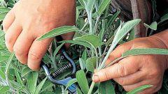 Черенкование ароматических трав