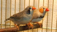 Птички амадины: особенности содержания