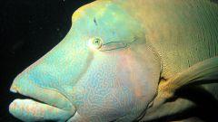Какие рыбы считаются гермафродитами