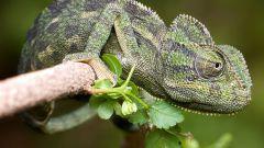 Почему хамелеон меняет окраску