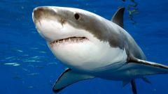Как выглядит акула