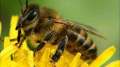 Чем опасен укус пчелы