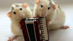 Как завести домашнюю крысу