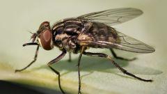 Почему мухи начинают кусать в августе