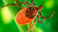 What to do if bitten by a tick