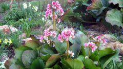 Бадан на садовом участке