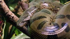 Какая змея самая длинная