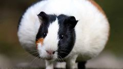 How long is pregnancy in the Guinea pig