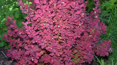 Самый красивый, цветущий декоративный кустарник