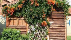 Как выращивать садовые многолетние лианы