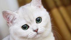 Как протекает беременность у породистой кошки