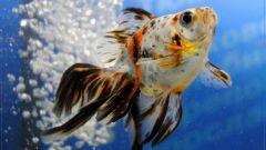 Как понять, что рыбка петушок беременная