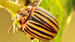 The fight against the Colorado potato beetle