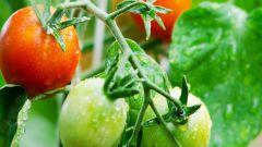 Подкормка помидоров