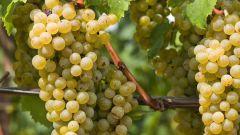 Как помочь винограду перезимовать