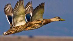Какие птицы считаются перелетными