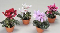 Как подобрать цветочный горшок для цикламена