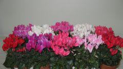 Когда цветет цикламен
