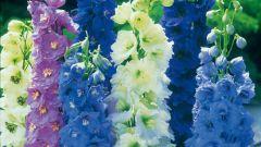 Дельфиниум: выращивание из семян, посадка и уход