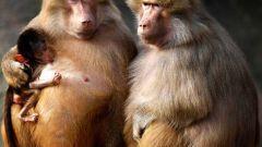 Кто такие бабуины