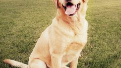 All about the Labrador: how to raise