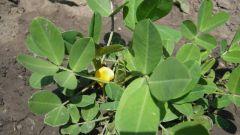 Все о топинамбуре: как его выращивать