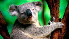 Все о коалах