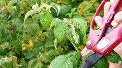 Все о малине: как ухаживать