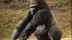 Какие есть обезьяны